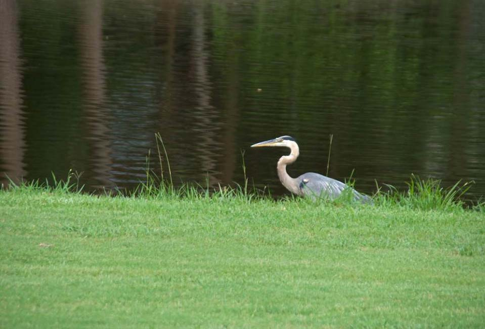 A great blue heron rests next to a pond at Carolina Trace Country Club.